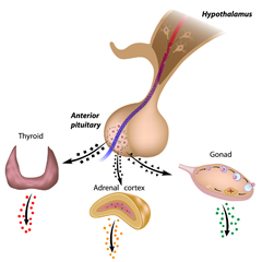 Pitutary, Thyroid, Adrenal, Gonad