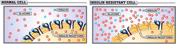 insulin-cell